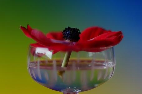 Anemone - Gelb-Blau